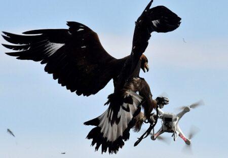【猛禽類】鷹匠の指示でドローンを狩る空軍の鷹が超絶かっこいい「アナログ最強」