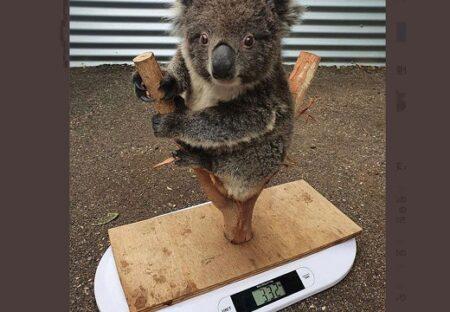 【w】コアラの体重測定が話題に「最高!」「ぬいるぐみみたい」