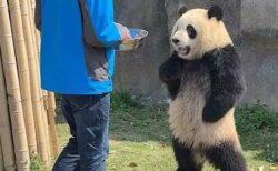 【!】アニメみたいなパンダが発見され話題に「人間はいってるみたいw」