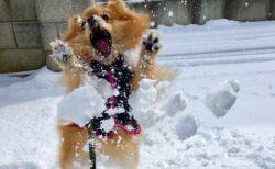 【w】雪に大興奮するポメラニアンの神ショットが話題に「躍動感すごいw」