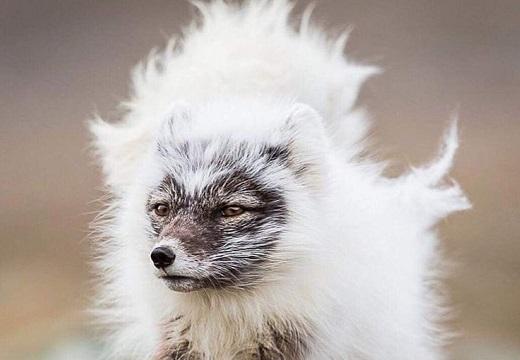 もこもこ冬毛が抜け始めたホッキョクギツネが話題に「白い煉獄さん!」「炎みたい」