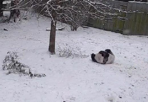 【698万回再生】アメリカで寒波。動物園で雪にはしゃぐパンダが話題にw