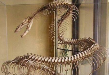 【!】8.5mの大蛇、大迫力の骨格にネット騒然「ドラゴンだ‥」「こんなに美しいの」