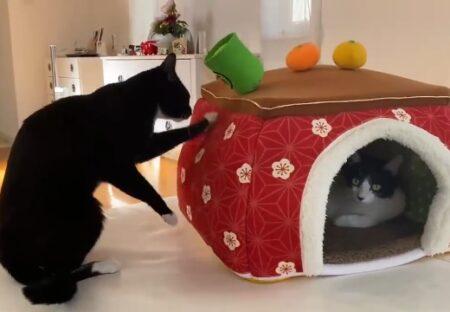 【w】藤あや子さんちの保護猫くん達、どちらもこたつに入りたくてかわいいw