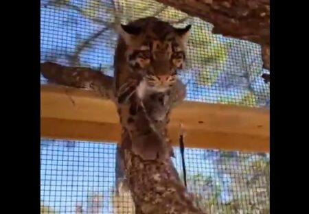 【ネコ科】「手を見せて」に応える猛獣が話題に「ニャーって言ってる!」