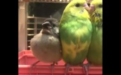 【愛】甘えてくる隣の文鳥に気づいたインコの反応!可愛いすぎるw