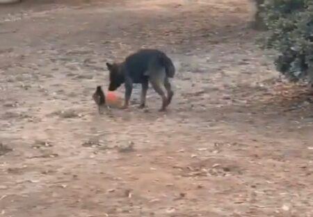 【動画】仲良く遊ぶカラスと犬が話題に「楽しそう!」