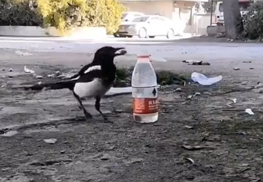 【動画】パスカルの原理を使いペットボトルの水を飲む鳥が話題に「すごい知能」