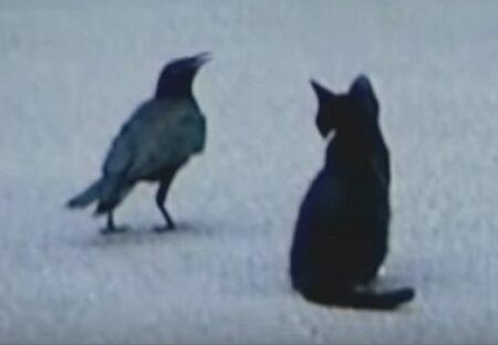 【泣いた】迷子の子猫にエサを与えたカラス、死ぬまで毎朝ネコの元に通う