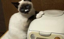 【ほかほか】両手を炊飯器に乗せ、首を傾げて主さんを見つめる猫。めちゃくちゃ可愛いw