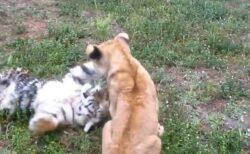【ネコ科】トラとライオンの赤ちゃんがじゃれあって遊ぶ様子が話題に「子猫だw」