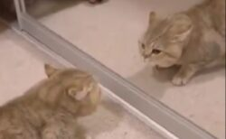 シャーッ (*ΦωΦ*) 鏡の中の猫と対峙するねこが話題に「表情がw」