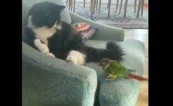 【動画】迫り来るインコにびびりまくる猫が話題に「どうしたのw」