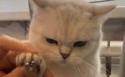 【む~】爪切りにお怒りの猫さんが話題に「しかめっ面が可愛すぎるw」