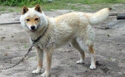 【もこ】人気の稀少種、山陰柴犬。独特な冬毛姿が話題に「声出たw」「めちゃ可愛い!」