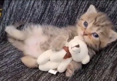 【ぎゅー】ぬいぐるみを大事に可愛がる子猫、可愛いすぎてヤバいw