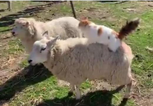 【動画】羊の背中をずっとふみふみする猫が話題に「表情が可愛いすぎるw」