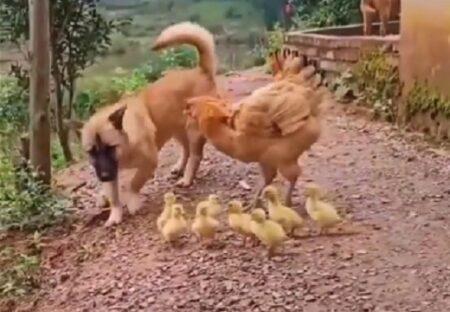 【飛び蹴りw】犬がひよこを踏みそうに!ニワトリ母ちゃんが強すぎるw