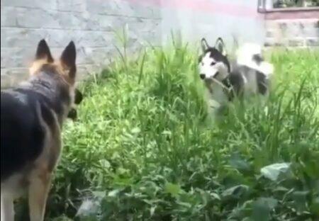 【動画】シェパードと友達になろうとするハスキーの動きが話題に「可愛いすぎるw」