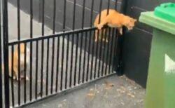 【個性】通りぬけに四苦八苦する猫と華麗な猫。対照的な2匹が話題にw