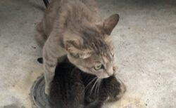 【泣いた】外は豪雨、子猫達を必死で守る母猫が話題に