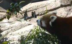 【動画】蝶々と遊ぶレッサーパンダ、永遠に見ていたい可愛さw