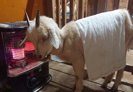 【もふもふ】水たまりで転んだヤギ、ストーブにあたりながらウトウトする様子が可愛い