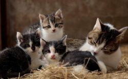 【動画】自分のしっぽで子猫3匹を遊ばせるママ猫が話題に
