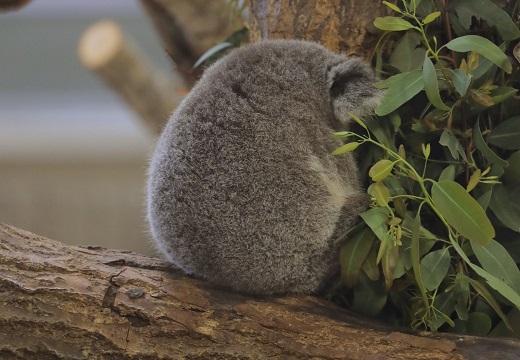 【丸っ】あまりにも可愛いコアラの背中が話題にw