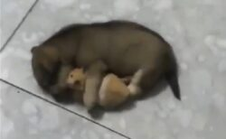 【w】大事そうにハムスターを抱いて寝る犬、どちらの表情も可愛いすぎる(・∀・)