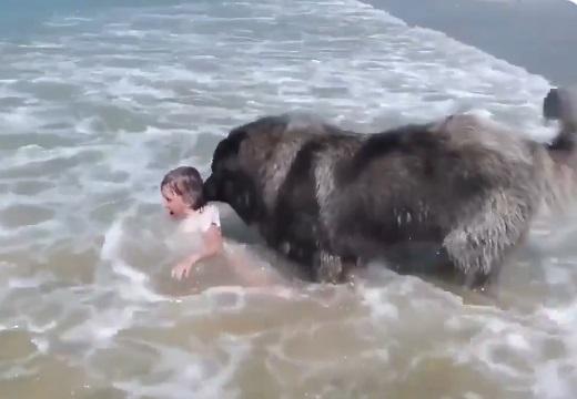 【!】波で遊ぶ少女が溺れていると勘違いし全力で救助する大型犬が話題に