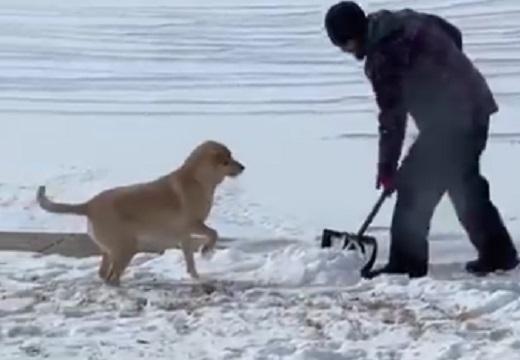 【雪まみれ】雪かきを全力で楽しむ犬が話題に「しっぽが最高w」