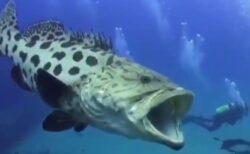 【衝撃】日本に生息する巨大魚、人間と並んだ動画が大迫力!