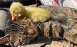 【w】昼寝中のねこと、猫を起こそうとするひよこ。可愛いすぎる動画が話題に