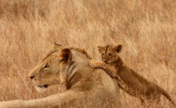 【動画】注射を嫌がる赤ちゃんライオンと、心配そうな母ライオンが話題に