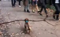 【動画】大きな枝を得意げに運んでいくダックスが話題に「おしり最高w」