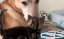 【もっと】子猫を世話する大きな犬と、催促する子猫が話題「ずっと見てられる‥」
