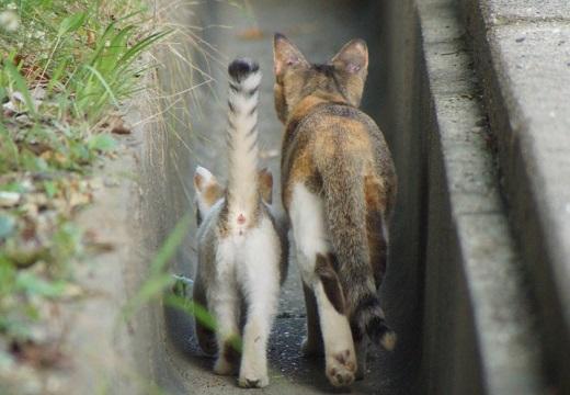 【話題】安全な側溝を並んで散歩する猫の親子、1枚の写真が可愛いすぎる(・∀・)