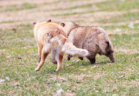 【話題】仲良しのキツネとたぬき、脚の長さの違いが愛しすぎるw