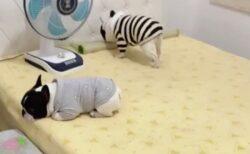 【ゴザ敷いて‥】自分で寝床を準備する犬、まるで人みたいな動きが話題にw