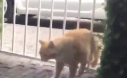 【最後w】柵にお腹がつっかえちゃった猫、逆ギレw