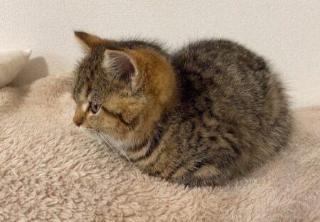 【ちょこん】手足をすっぽり隠して座るマンチカンの子猫、衝撃的な可愛さw