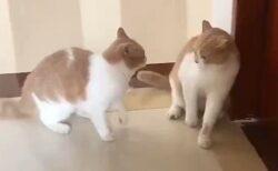 【せっせっせ♪】シンクロする猫2匹、可愛らしい動きが話題に「鏡みたい」