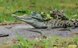 【w】背中にカエルを5匹乗せて散歩するワニが激写されるw