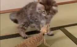 【愛】猫ととかげ、仲良くなるまでの過程が素敵すぎる(・∀・)