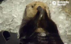 【爆笑】間違えて氷を食べちゃった事に気づいたラッコの表情が可愛いすぎるw