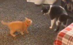 【!】自分よりかなり大きな猫に突撃する子猫が話題にw