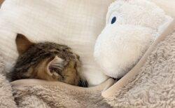 お気に入りのぬいぐるみと爆睡する子猫、見てるだけで和むと話題に