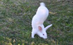 【動画】逆立ちして歩くウサギが話題に「三度見した‥」「えぇ?!」「理由もすごいw」