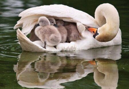 【凄い】背にたくさんのヒナを乗せ羽根で守る白鳥のお母さんが話題に